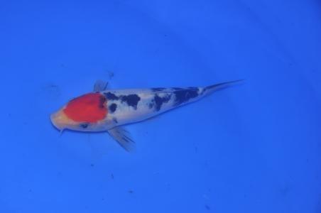 三色鎏金鱼的饲养解析